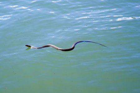 Zmija u jezeru